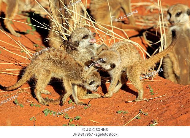 Suricate, (Suricata suricatta), youngs playing in morning sun, Tswalu Game Reserve, Kalahari, Northern Cape, South Africa, Africa
