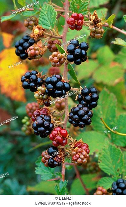 shrubby blackberry Rubus fruticosus, ripe fruits