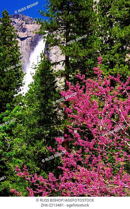 Western Redbud (Cercis occidentalis) under Yosemite Falls, Yosemite National Park, California USA