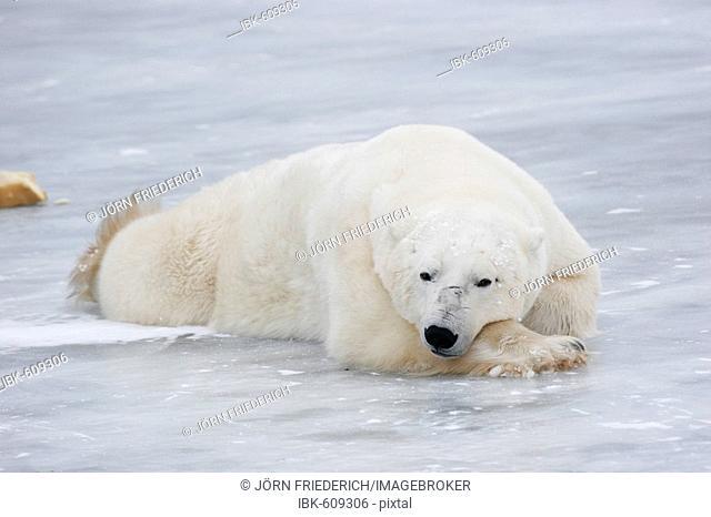 Polar bear (Ursus maritimus) proning and relaxing, Churchill, Manitoba, Canada