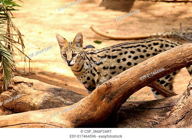 Serval African Wild Cat in Nature