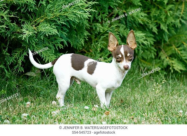 A six month old male Chihuahua puppy outdoors.  Canis familiaris