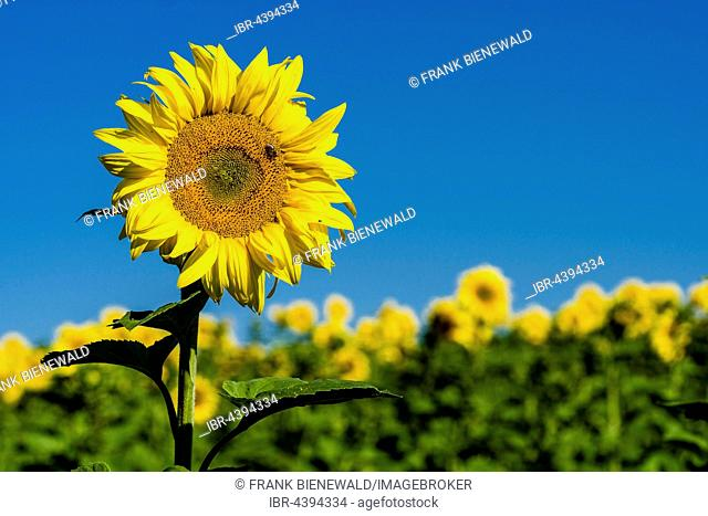 Blossoms of common sunflowers (Helianthus annuus) in a sunflower field, Saxony, Germany