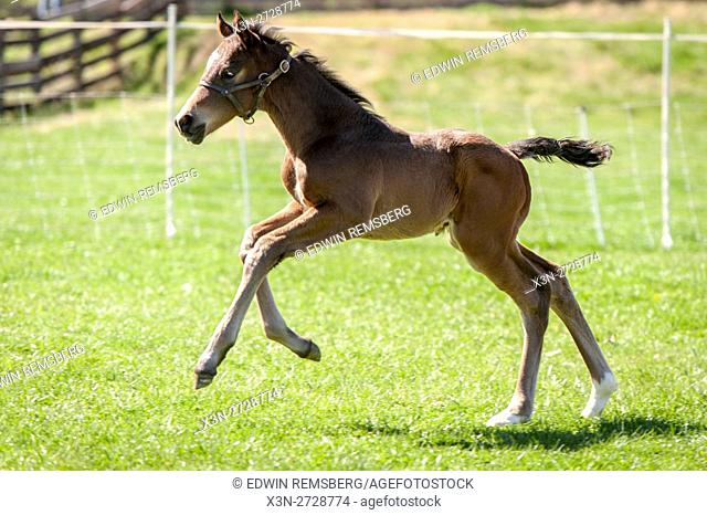 Newborn foal running on a farm
