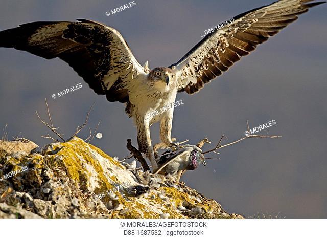 Spain , Lleida Province , Baen , Bonelli's Eagle Aquila fasciata adult male, feeding on Rock Dove Columba livia prey
