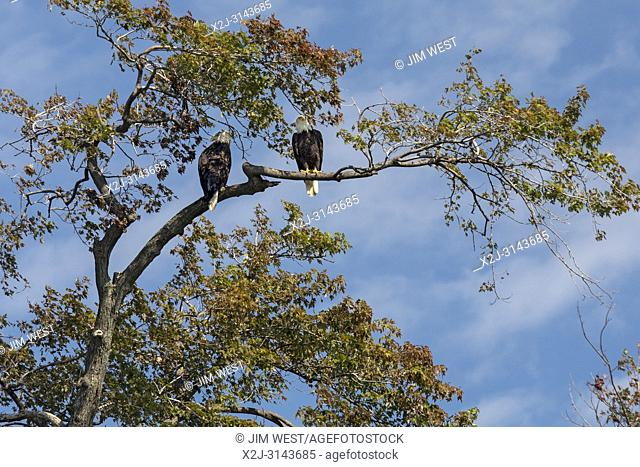 Detroit, Michigan - Bald eagles on Belle Isle, a state park in the Detroit River