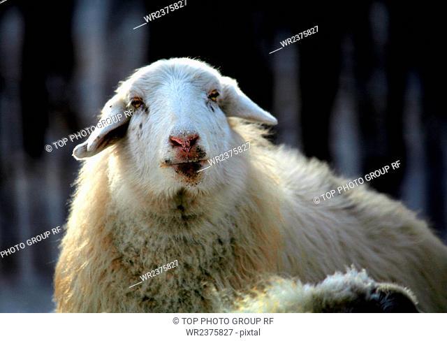 Shepherd Inner Mongolia