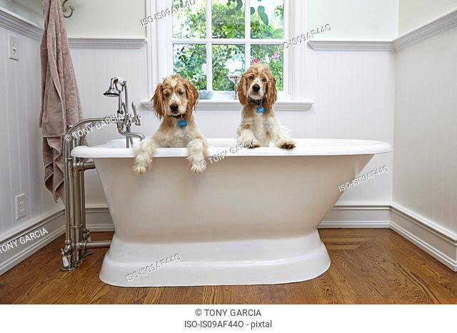 Puppies inside bathtub