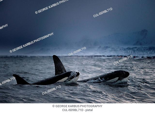 Killer whales (Orcinus orca), hunting for food, Andenes, Nordland, Norway