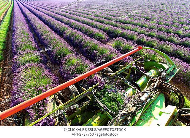 Europe, France,Provence Alpes Cote d'Azur,Plateau de Valensole. Harvesting first rows of lavender