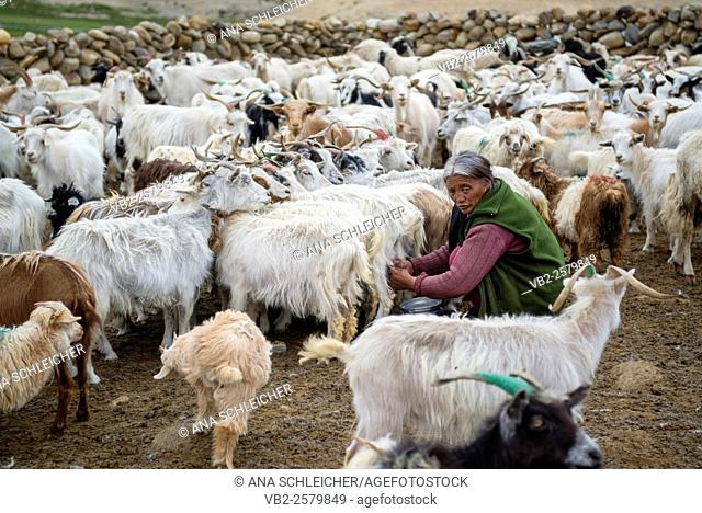 Old woman milking pashmina goats in a nomads campsite during their summer festival of Tso Moriri lake, Ladakh (India)
