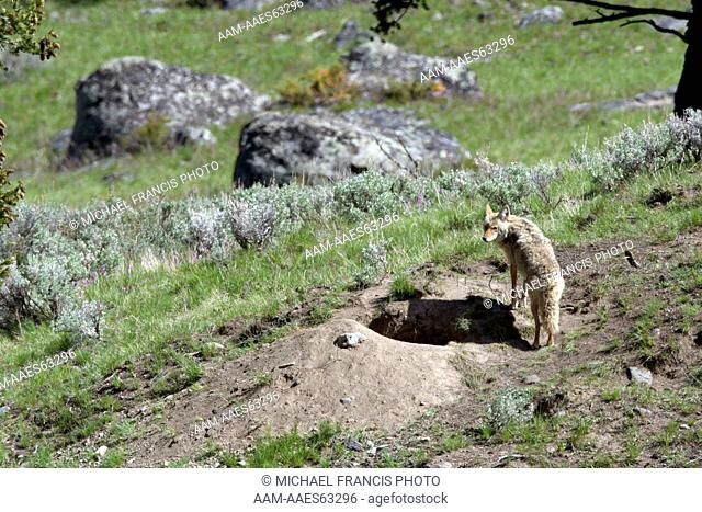 Coyote (Canis latrans), adult at den site during spring Yellowstone National Park Wyoming