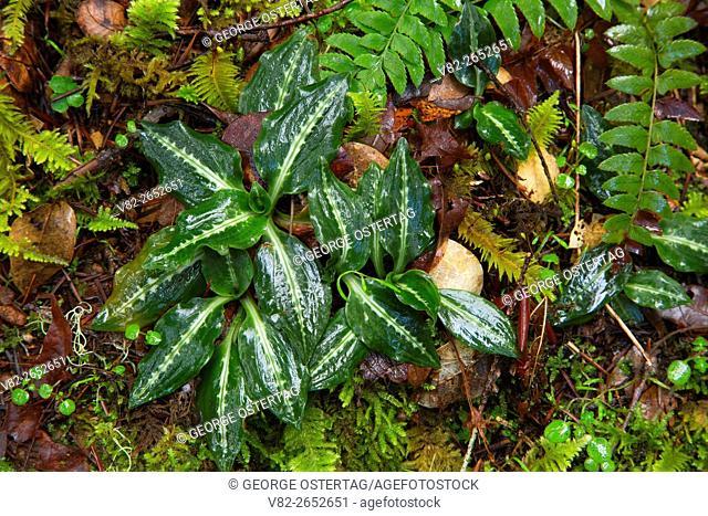 Rattlesnake plantain (Goodyera oblongifolia) along Taylor Creek Trail, Siskiyou National Forest, Oregon