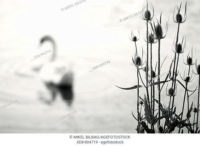 Mute Swan Cignus olor and dried thistles Dipsacus fullonum