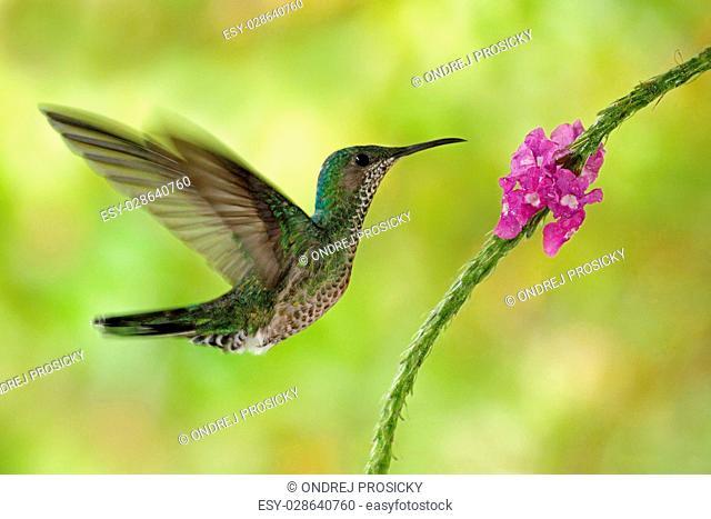 Flying hummingbird White-necked Jacobin next pink red flower