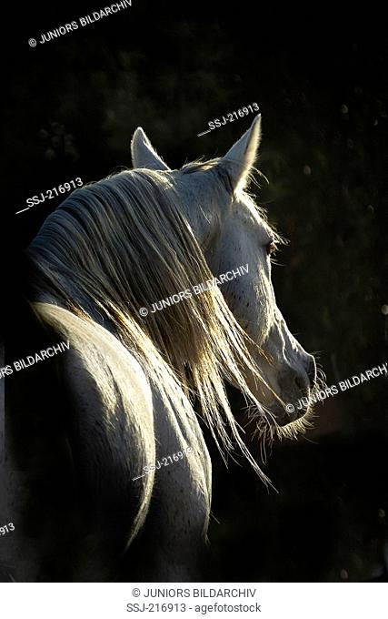 Arabian Horse. Portrait of gray stallion, seen against a black background. Tunisia
