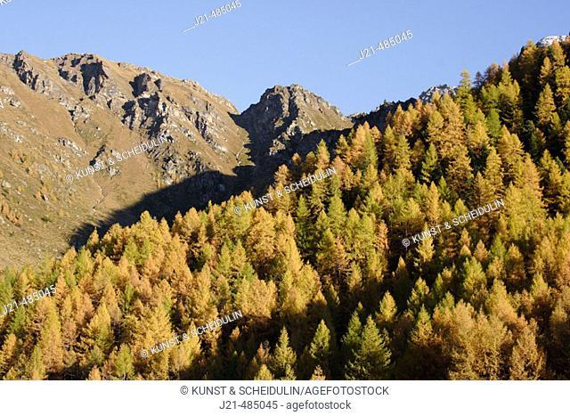 Larch forest (Larix) in Asten Valley, Goldberg Group, Hohe Tauern National Park, Alps, Carinthia, Austria