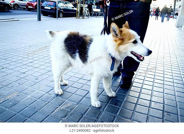 Man walking the dog. Barcelona, Catalonia, Spain