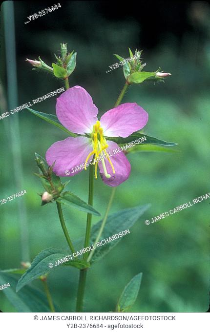 Common Meadow Beauty has scientific name of Rhexia virginica