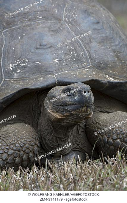 Close-up of giant Galapagos tortoise (Geochelone elephantopus) in the highlands of Santa Cruz Island in the Galapagos Islands, Ecuador