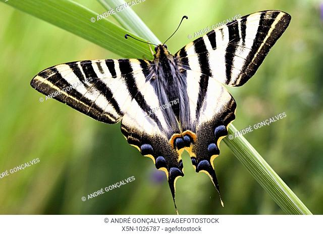 Scarce Swallowtail Iphiclides feisthamelii, Portugal