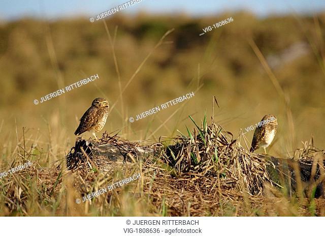 Burrowing Owl, Athene cunicularia, MATO GROSSO, Brasil, South America - MATO GROSSO, BRASIL, 29/07/2009