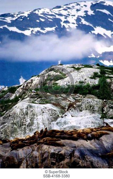 Usa, Alaska, Glacier Bay Np, Steller's Sea Lions Resting On Island