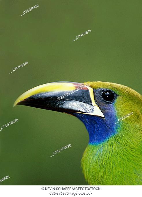 Emerald Toucanet (Aulacorhynchus prasinus). Monteverde Cloud Forest. Costa Rica