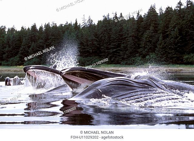 Humpback Whales Megaptera novaeangliae Adults cooperatively bubble-net feeding. Chatham Strait, Southeast Alaska, USA