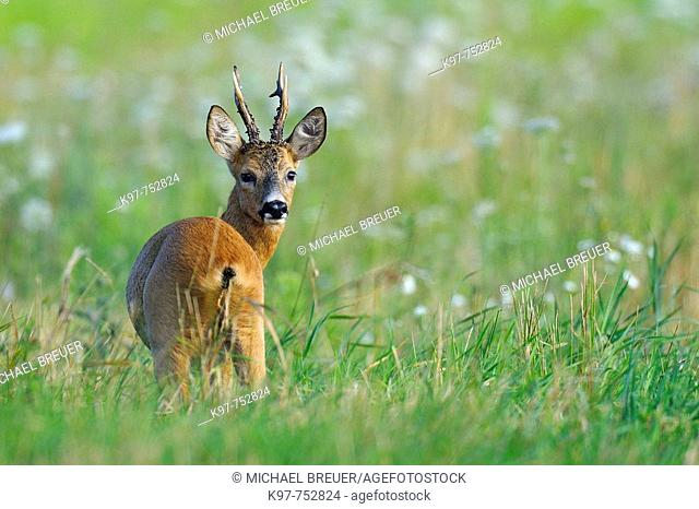 Roe deer on a meadow, Roe buck, Male, Capreolus capreolus, Summer, Germany