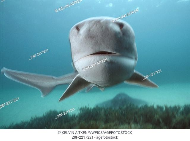 Broadnose Sevengill Shark (Notorynchus cepedianus) Australia Phillip Island