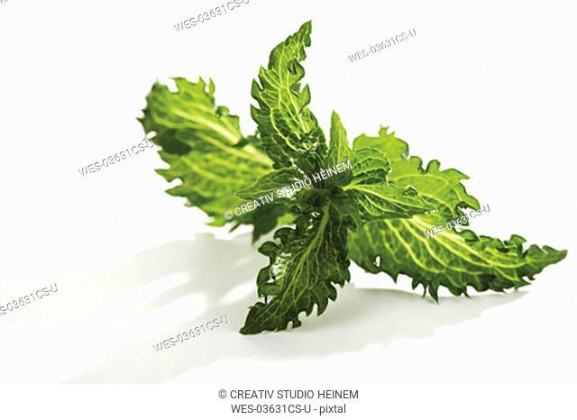 Mint, Mentha spicata, Mentha piperita Peppermint
