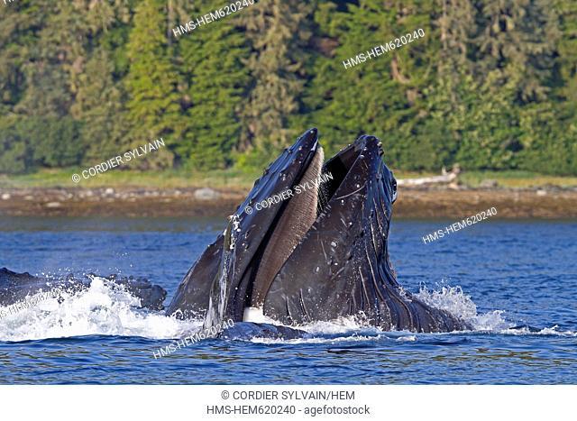 United States, Alaska, Frederick Sound, Humpback whale Megaptera novaeangliae, bubble feeding, bubble net feeding