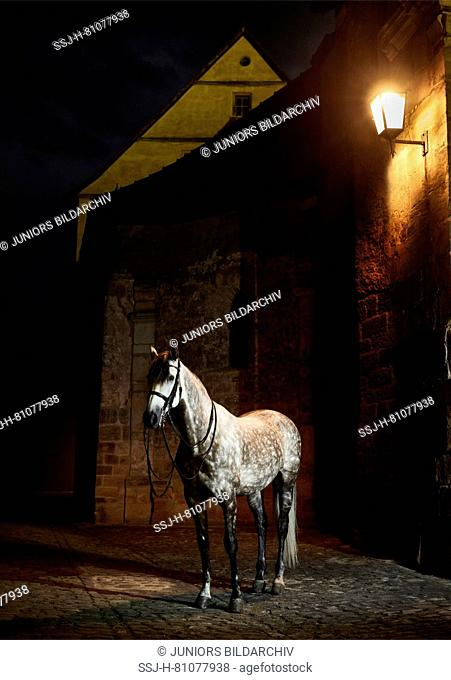 Pure Spanish Horse, Andalusian. Dappled gray adult standing in the old town of Bamberg at night. Bavaria, Germany , Pura Raza Espanola, P.R.E