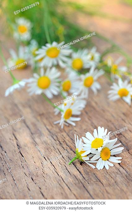 Chamomile flowers on wooden table in summer