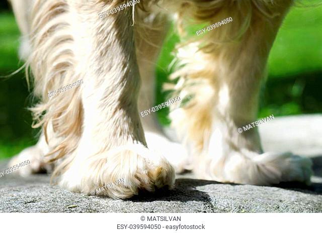 Blonde dog feet from cocker spaniel