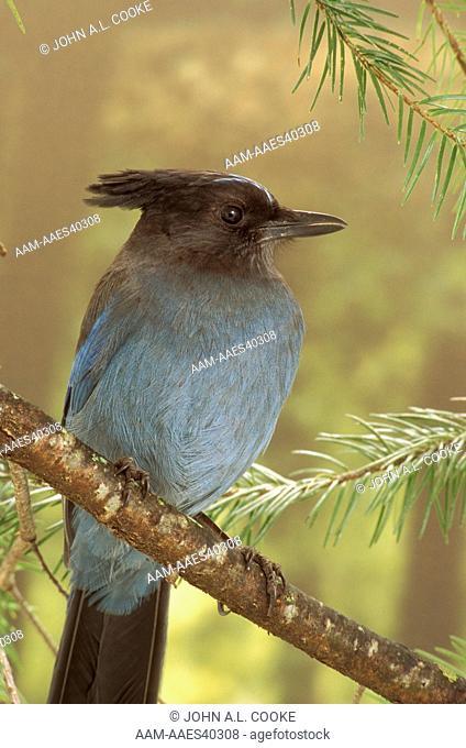 Steller's Jay (Cyanocitta stelleri) N. Sierra Nevada - CA