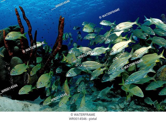 Schooling Smallmouth Grunt, Haemulon chryargyreum, Caribbean Sea, Bonaire