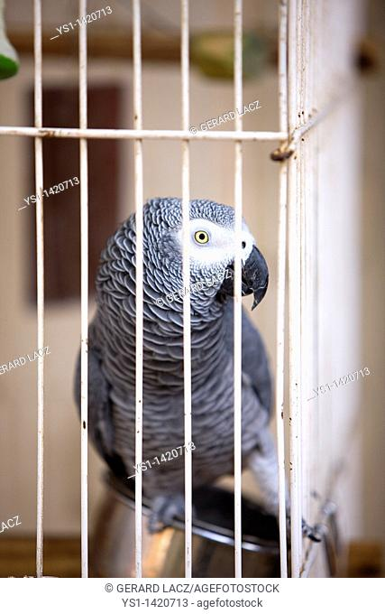 AFRICAN GREY PARROT psittacus erithacus IN CAGE, NAMIBIA