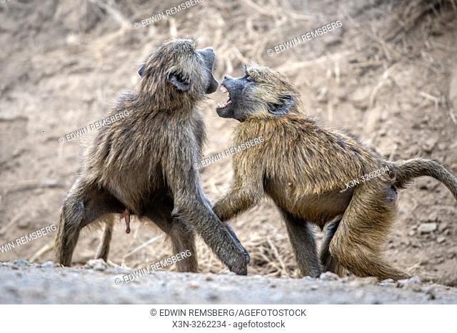 Two Olive baboons (Papio anubis), also called the Anubis baboon, Nakuru National Park, Kenya Nakuru National Park,