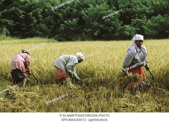 rice harvesting in field , kerala , india