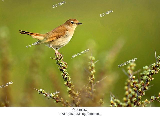 nightingale (Luscinia megarhynchos), sitting on a thorny twig, Netherlands, Texel, De Koog