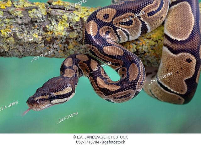 Royal Python Python regius