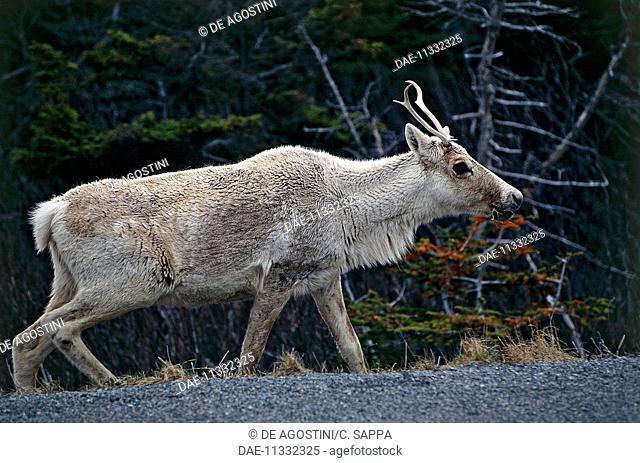 Caribou or Reindeer (Rangifer tarandus), Cervids or Deer, surroundings of Port aux Basques, Newfoundland Island, Newfoundland and Labrador, Canada