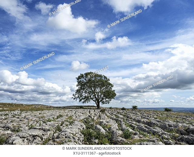 White cloud formations over a lone tree on limestone pavement near Malham Yorkshire Dales England
