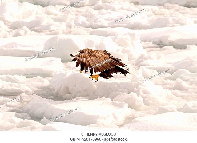 Eagle-rabalva, rabalva, Haliaeetus albicilla, (Pygargue à queue blanche) Russia, 2017