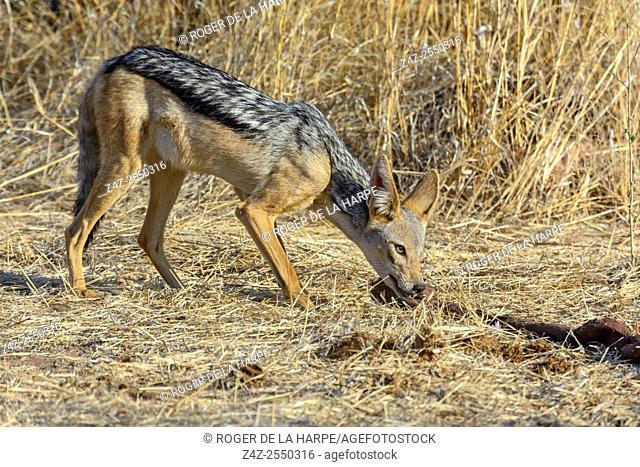Black-backed jackal (Canis mesomelas) at an elephant killed by lions. Ruaha National Park. Tanzania