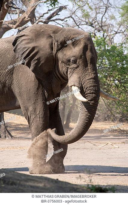 African Elephant (Loxodonta africana), Chobe Waterfront, Chobe National Park, North-West District, Botswana