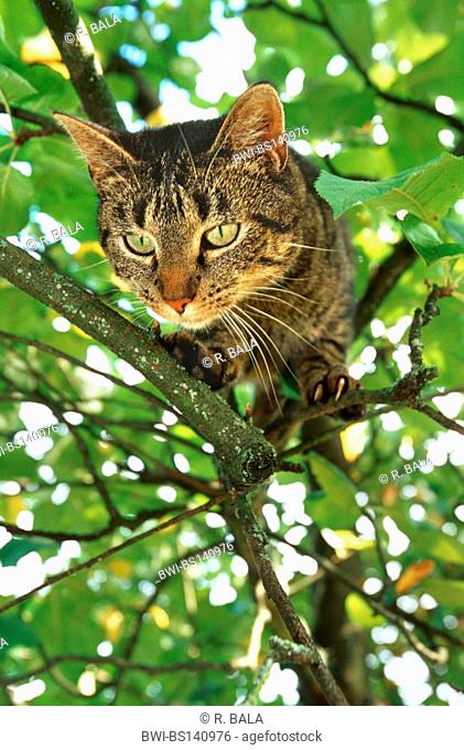 domestic cat, house cat (Felis silvestris f. catus), jumping from a tree, Germany, North Rhine-Westphalia, Sauerland, Menden