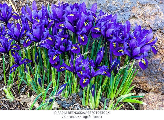 Iris reticulata 'Pixie' flowering in early spring